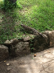 Iguanas are like squirrels on the Island. I asked if I could catch one, I was shut down.